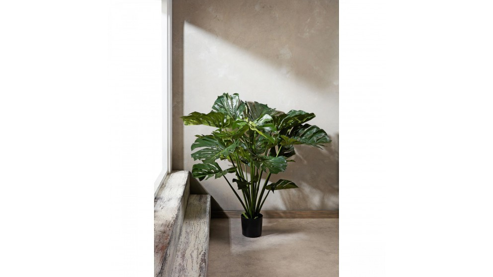 Monstera Split Philo 98cm Plant