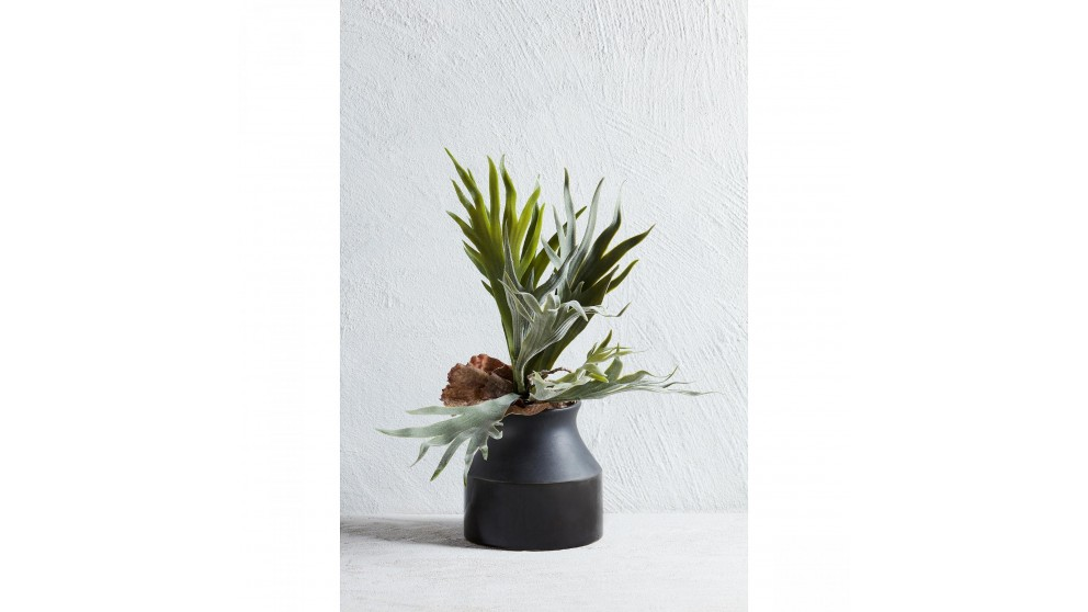 Staghorn Spray 40cm Plant